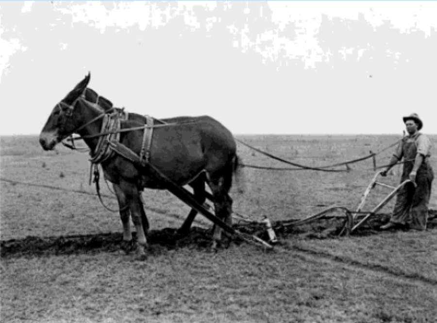 Bailey County Farmer with Mule in 1915