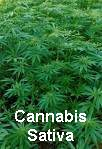 Cannabis Sativa plants