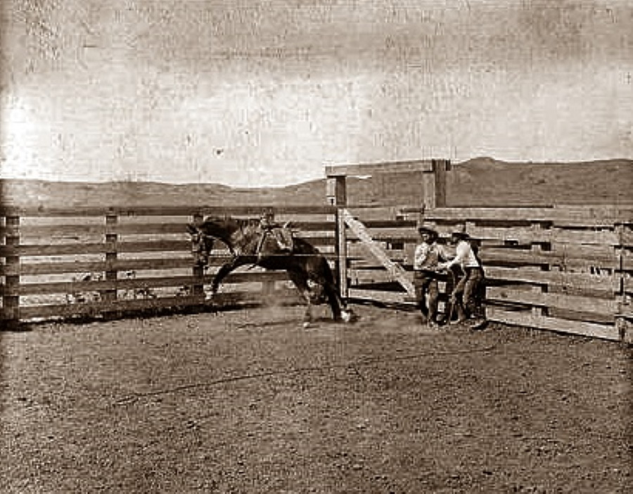 Cowboys Break a Horse in 1907