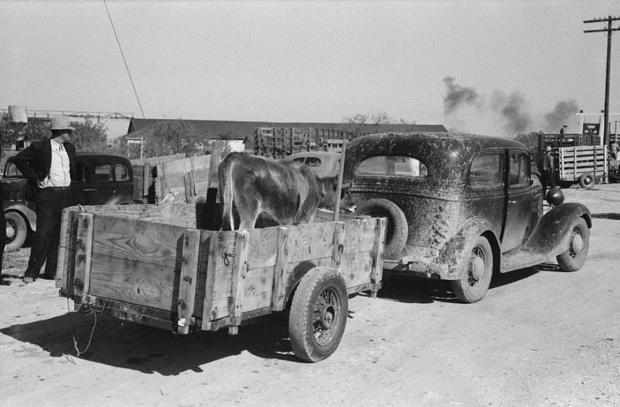 Cow in Trailer Towed by Car in San Angelo 1939