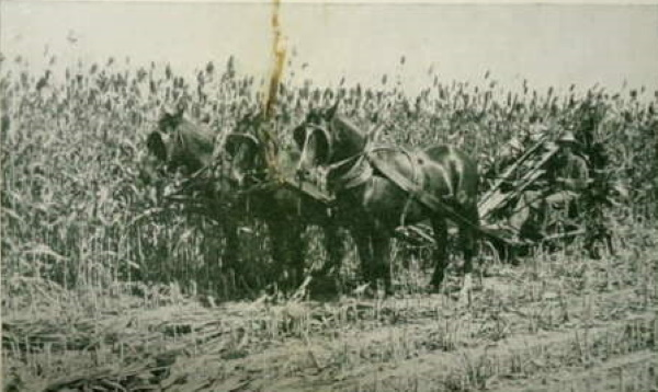 Horse Drawn Machine Cutting Corn in Childress County
