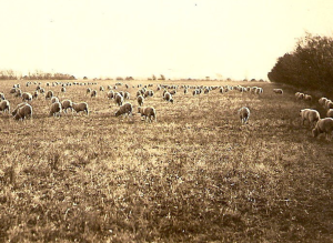 Nebraska FLOCK OF SHEEP Field PASTURE Farm c 1910