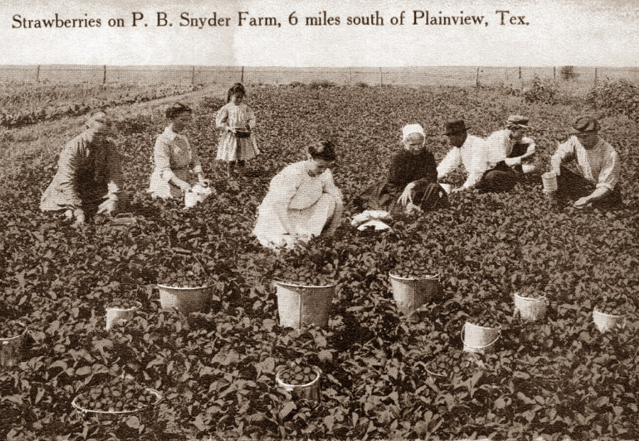 PB Snyder Strawberry Farm Plainview Tx in 1910s