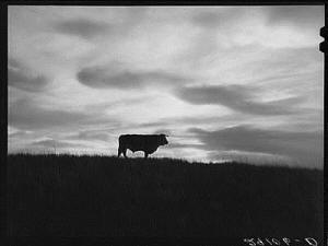 Bull in sand hill grazing area. Thomas County,Nebraska