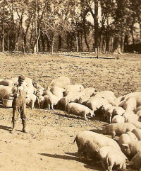 Wheeler County Nebraska Hog Farm c 1910